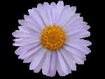 «Violet_Surprise» 0_6408a_d891c57f_S