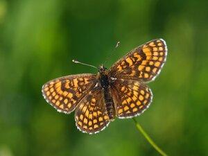 s:дневные бабочки,размах крыльев от 40 до 50 мм,c:оранжевые,c:F0D050,c:503010,c:F0D030,c:F0B030,c:F0B050
