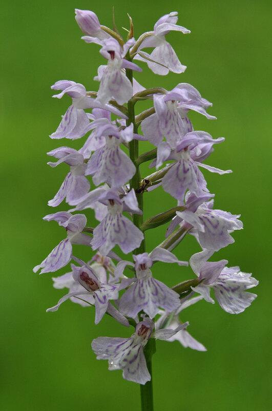 Пальчатокоренник - Dactylorhiza sp. (Orchidaceae)