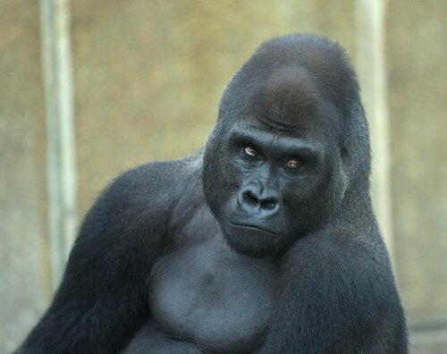 Эти удивительные гориллы: фотофакты