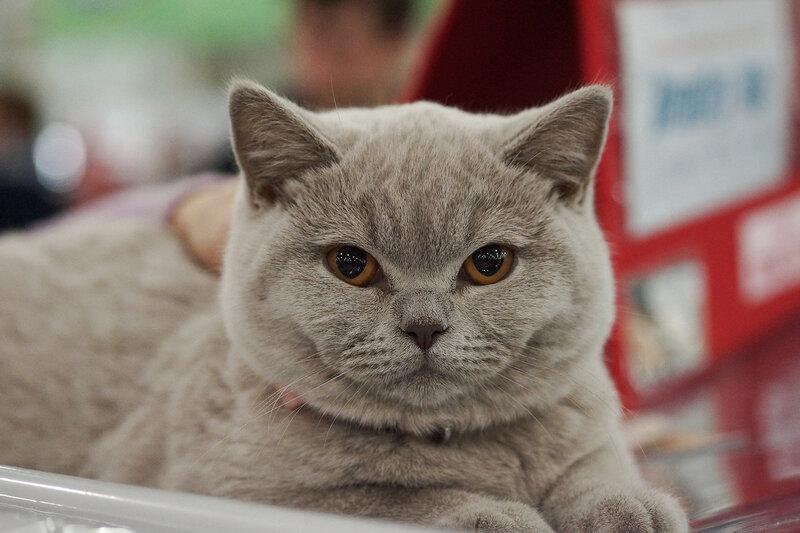 Британский котеночек