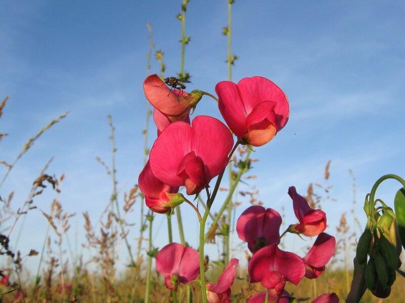 Чина клубненосная (Lathyrus tuberosus) Автор фото: Олег Селиверстов
