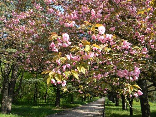 Ботанический сад Таврического национального университета (Симферополь). Цветет декоративная черешня в аллее атласских и гималайских кедров
