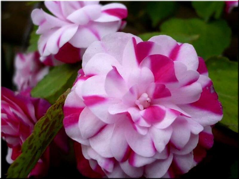 Фото цветы бальзамины