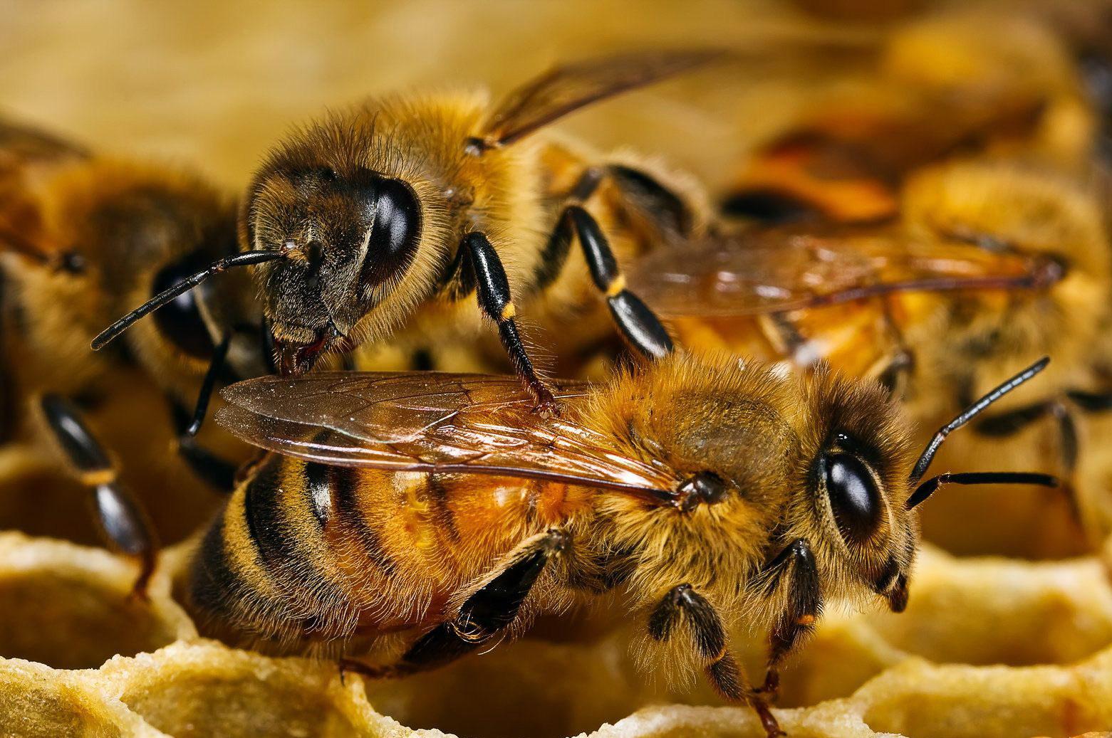 Бджілки і соти