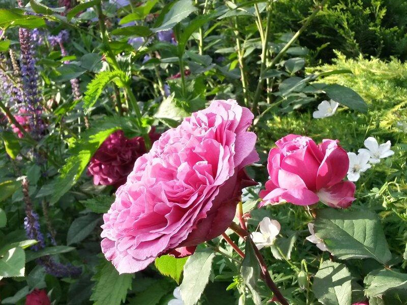 роза Ventilo