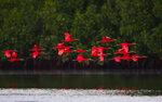 Красный ибис/ Eudocimus ruber