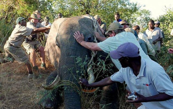 Раненный браконьерами слон обратился за помощью к людям