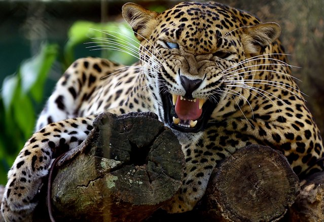 A Sri Lankan leopard is pictured at a zoo in Dehiwala near Colombo on March 3, 2016, on World Wildli