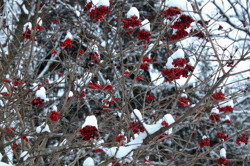 Рябина под снегом