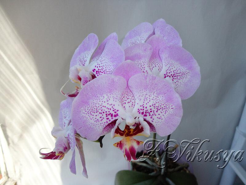 falenopsis-seksi-pink