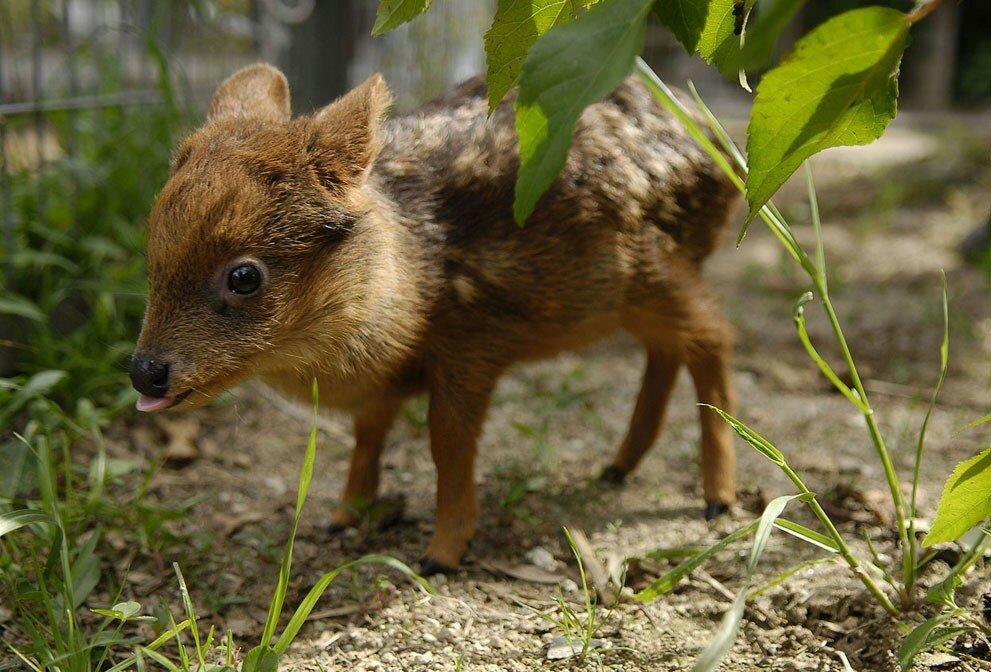 Одномесячный детеныш оленя пуду пасется на искусственном лугу в университете Консепсьона