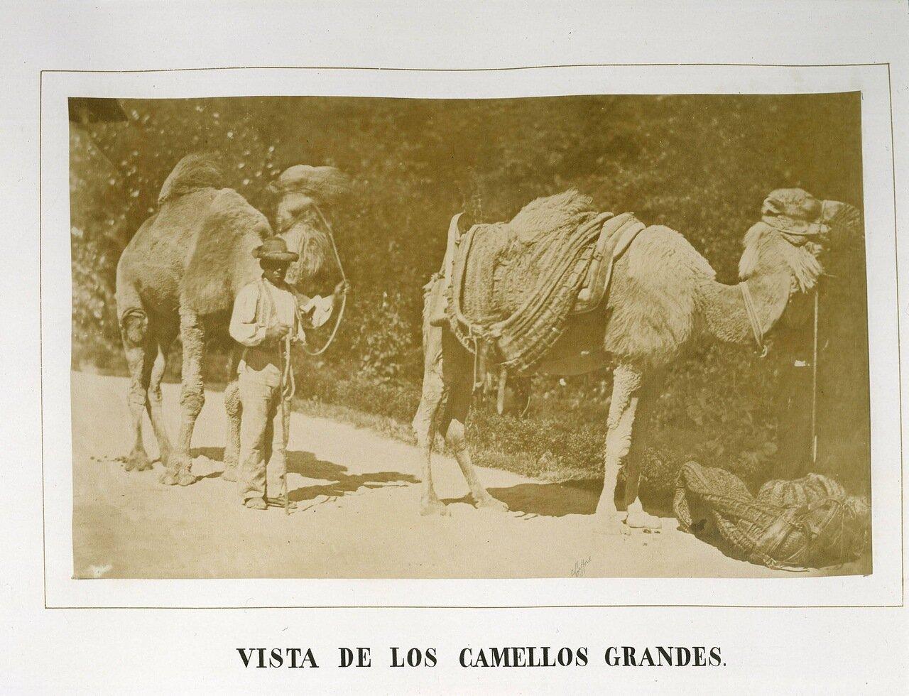Большие верблюды
