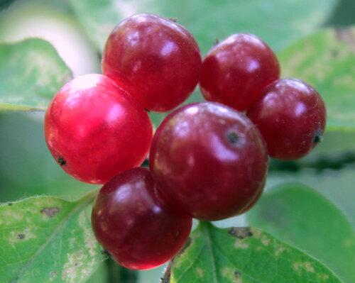 Красны ягодки