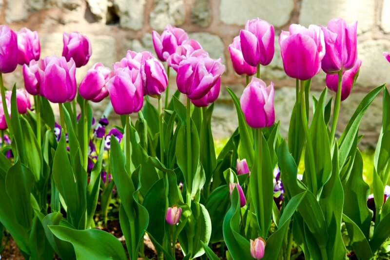 naturel pink tulips 1