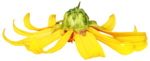 feli_gs_flower6.png