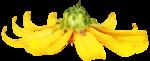 feli_gs_flower6.png