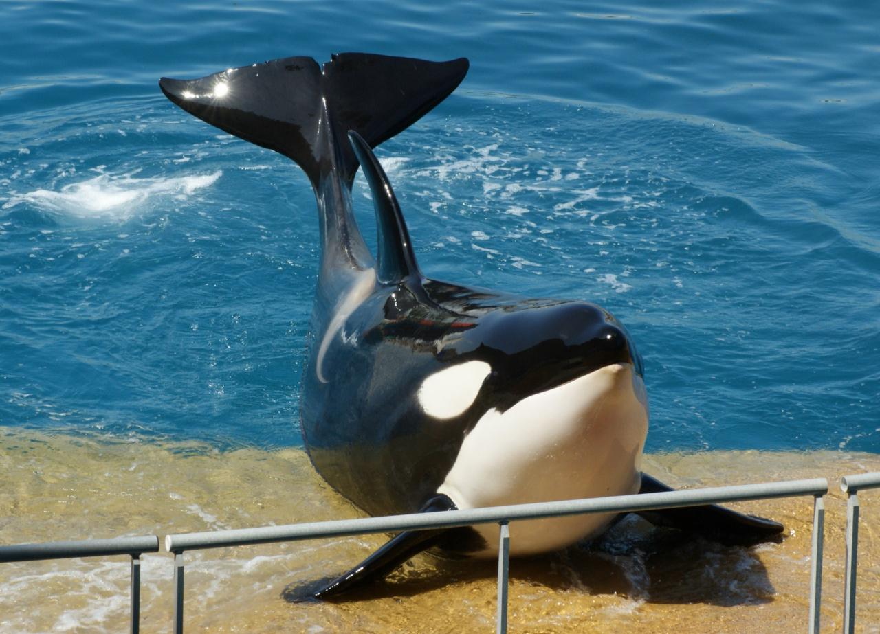 Черная спина и бока, белое горло и брюхо. У некоторых форм антарктических  косаток спина более темная чем бока. За спинным плавником есть серое пятно. a7f9734b499