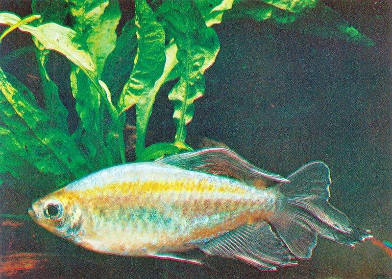 Конго Micralestes interruptus (Boulenger)