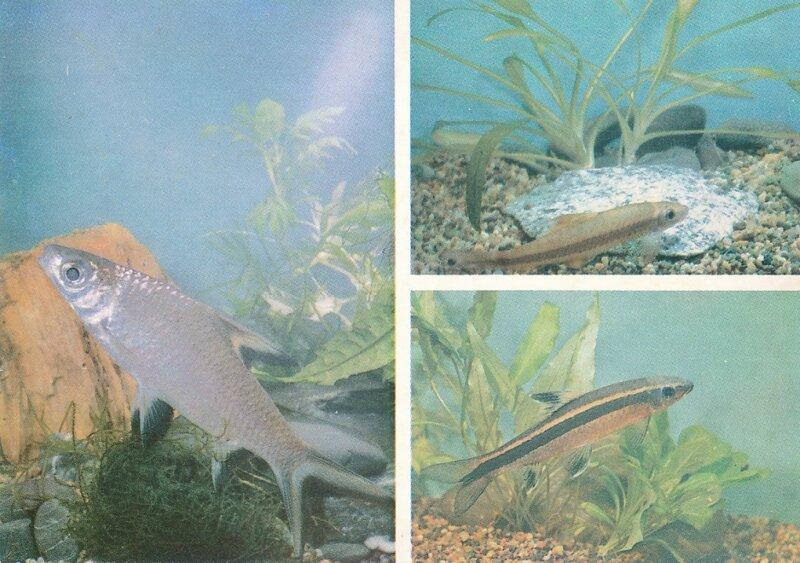 АКУЛИЙ БАЛА. Balantiocheilus melanopterus.  СИАМСКИЙ ЭПАЛЬЦЕОРИНХ. Epalzeorhynchus siamensis.  СУМАТРАНСКИЙ ЭПАЛЬЦЕОРИНХ. E. kallopterus.