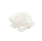 whitesingleflower-(BrydkaM).png