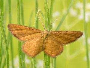 s:дневные бабочки ,c:красные или оранжево-жёлтые,c:рыже-бурые