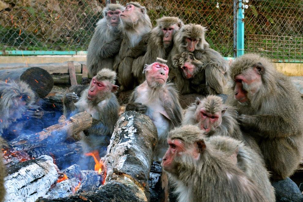 Японские макаки греются у костра, Инуяма, Япония