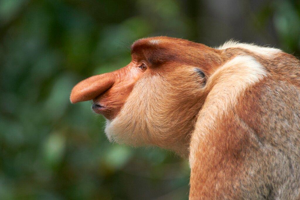 картинки обезьян с длинным носом состав поезда победы