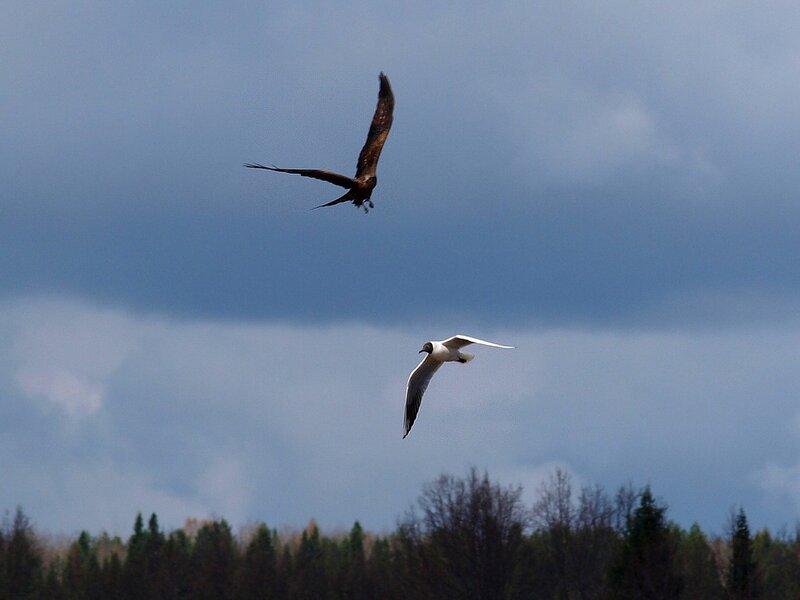 Чёрный коршун (Milvus migrans) P5021644.jpg