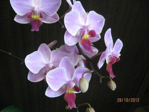 Цветы фаленопсиса '*Розовый Жираф*'