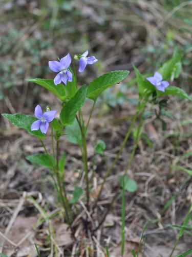Фиалка собачья (Viola canina) Автор фото: Владимир Брюхов