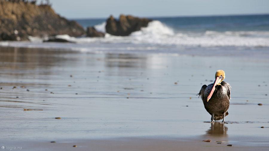 Malibu. Pelican.