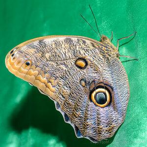 Калиго эврилокус (caligo eurilochus), семейство бабочки-совы (brassolidae)