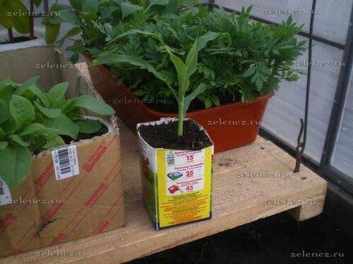 Выращиваем кукурузу в Сибири