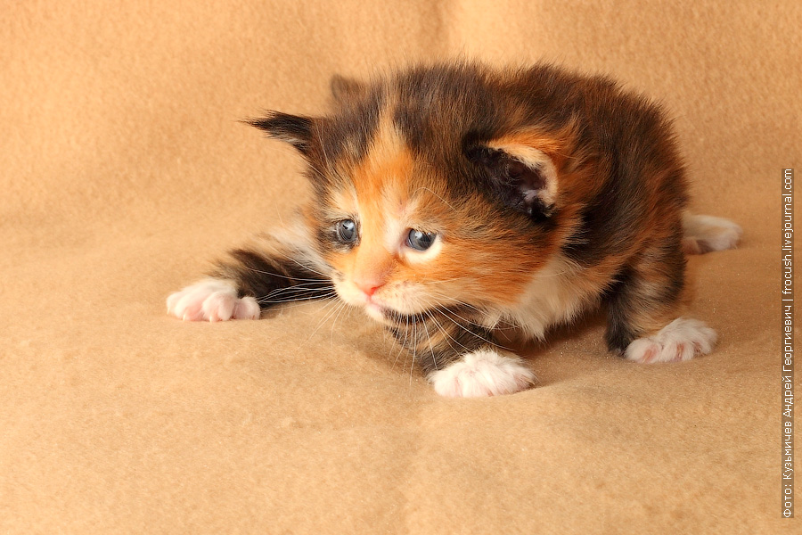 котенок черепашка мейн кун