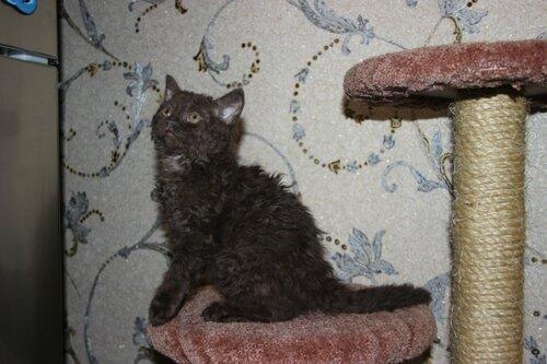 От двух КШ британцев родился кудрявый котенок 0_9191f_dc5da348_L