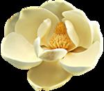 magnolia 18.png