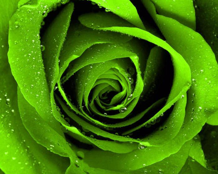 зелена троянда