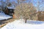 Яблоня в цвету-какое чудо!......IMG_8742BE.jpg