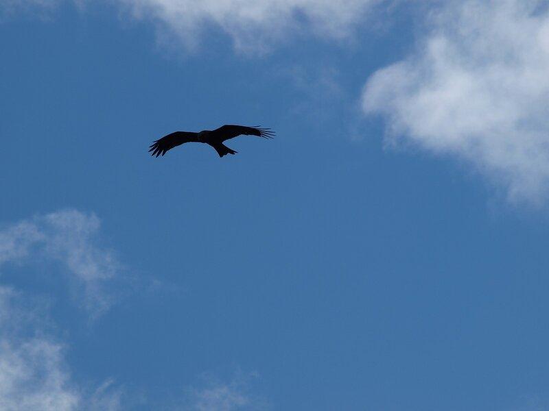 Чёрный коршун (Milvus migrans) P5021692.jpg