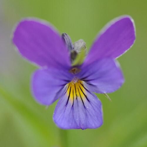 Фиалка трёхцветная (Viola tricolor) Автор фото: Владимир Брюхов