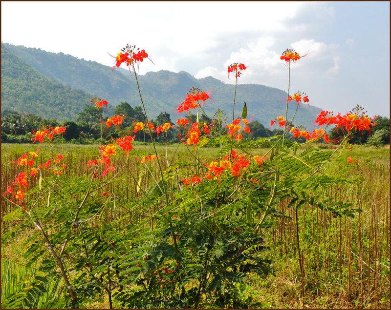 Цветы Таиланда