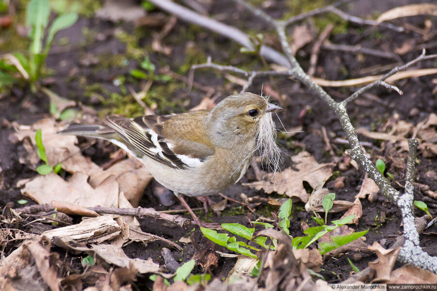 Самка зяблика | Female chaffinch | Fringílla coélebs