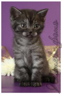 черный серебристая британский короткошерстный кот