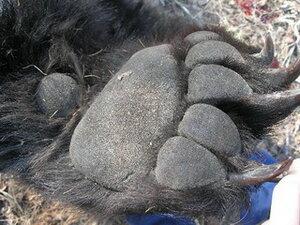 Крупнейшую в истории контрабандную партию медвежьих лап и частей тигра задержали в Приморье