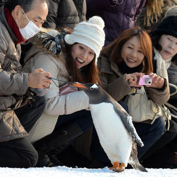 Королевский пингвин тянет за петлю камеры одного из посетителей в зоопарке Asahiyama города Асахикава, северный японский остров Хоккайдо