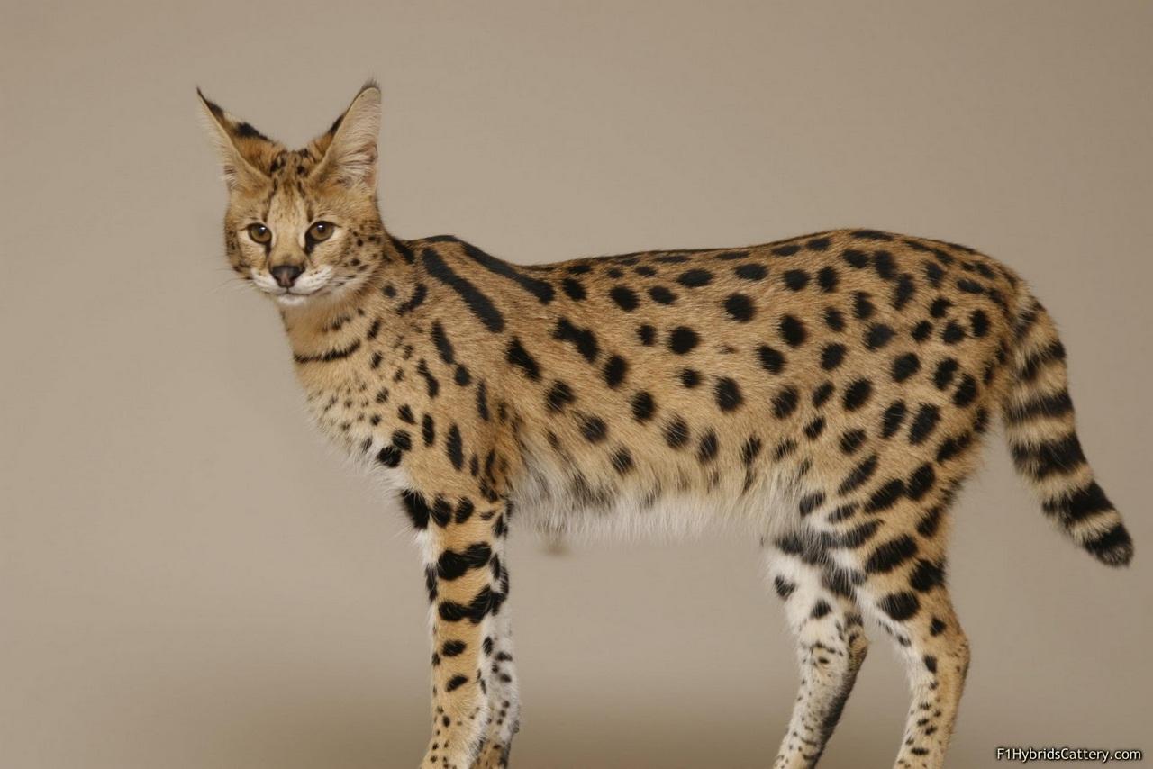 фото кошка ашера