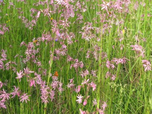 Синоним - Coronaria flos-cuculi Автор фото: Привалова Марина