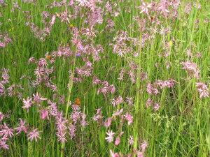 Кукушкин цвет обыкновенный (Coccyganthe flos-cuculi)
