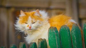 красивая рыжая кошка